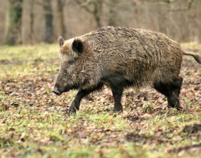 wild-boar-70420_1280
